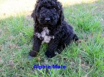 Alphie /Male available