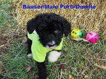 Bauser /Male Porti-doodle available