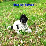 blue Ivy/ Female puppy