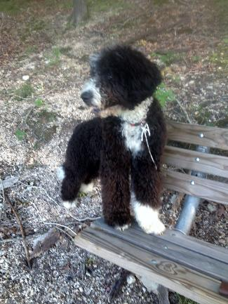 adult /male Porti-Doodle Puppy